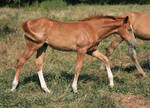 Warmblood Filly 4 .:Stock:.