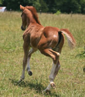 Warmblood Filly 7 .:Stock:. by Photopolis
