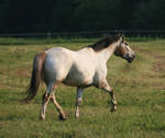 Appaloosa Trot .:Stock:.