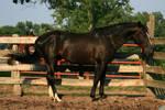 Black Stallion .:Stock:.