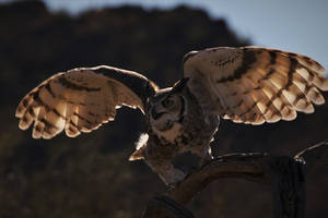 Great Horned Owl taking off by finhead4ever