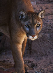 Cougar by finhead4ever
