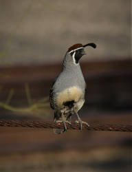Gambel's Quail by finhead4ever
