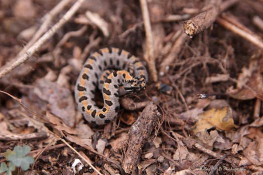 Baby Pygmy Rattlesnake