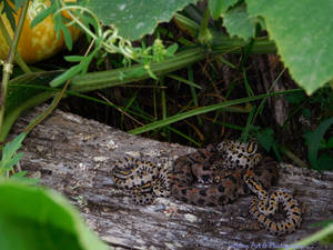Rattle Snake Mother 2