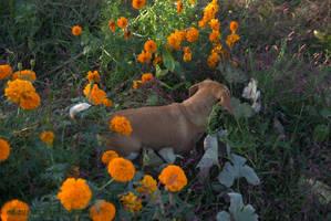 Beagle in Fall