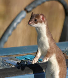 Weasel 1 by canadianice