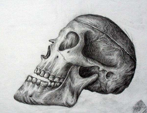 Skull Study by Saraais