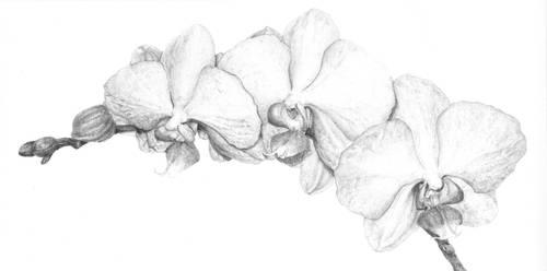Orchid Botanical Illustration by LateNightProject