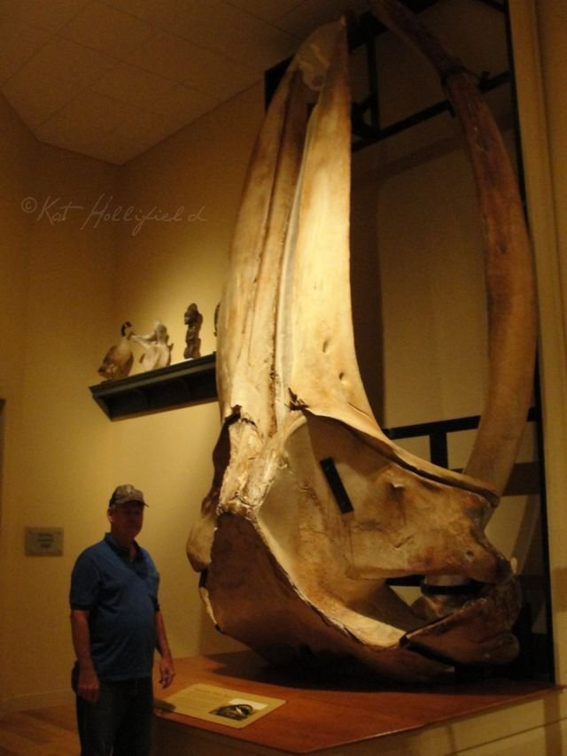 Humpback Whale Skull by Inuyashaslove