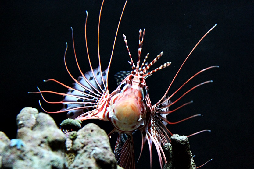 lion fish by Abbiee1211