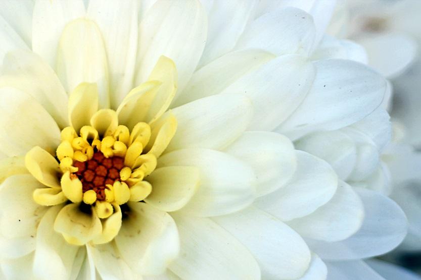 White Petals by Abbiee1211