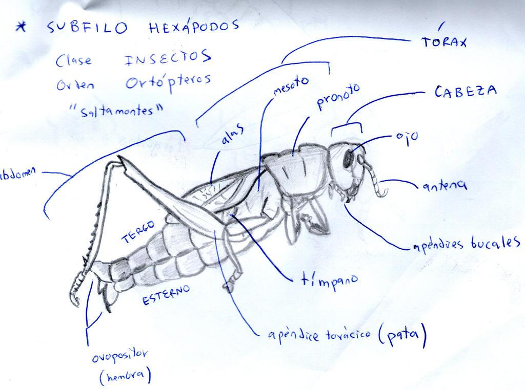 Anatomy of grasshopper (Caelifera) by GoraTxapela on DeviantArt