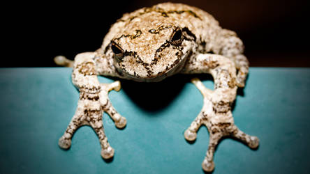 The Common Toad by acrobatikdan