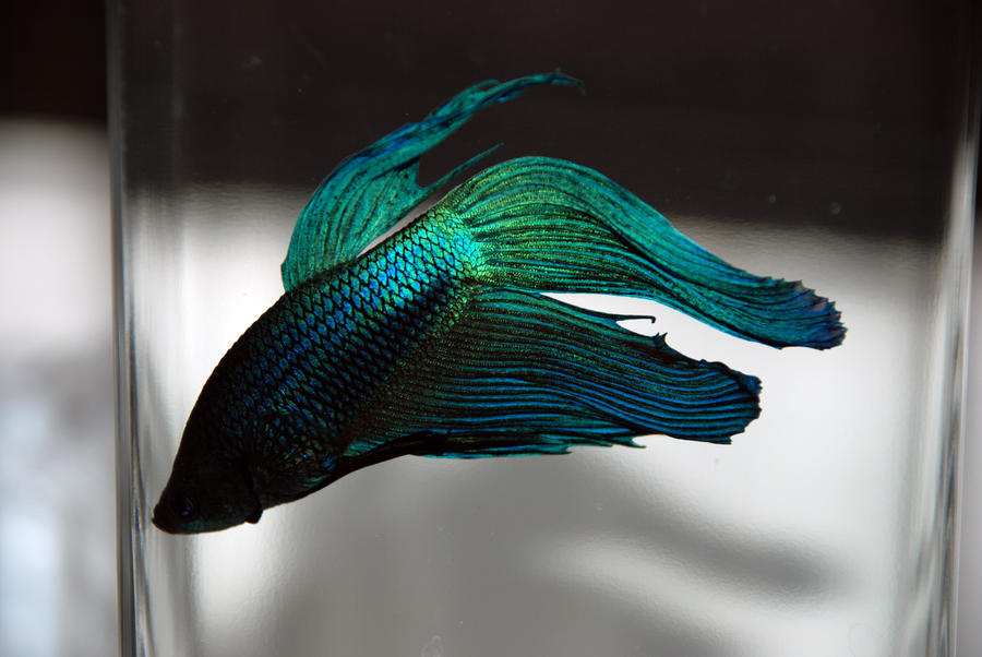 Beta fish by kaotiksymphony stock on deviantart for What is a beta fish