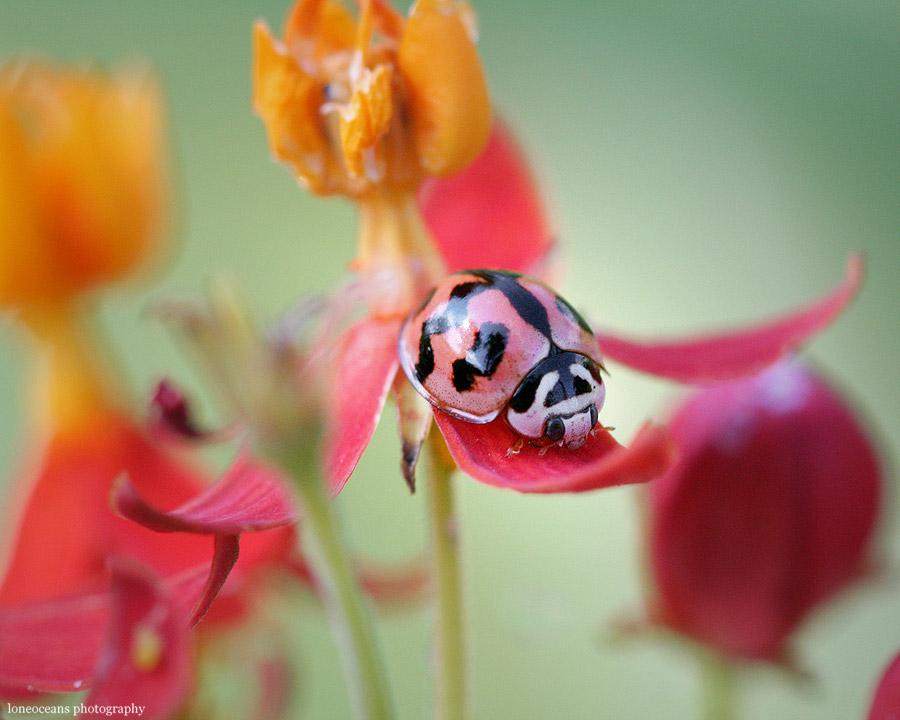 Ladybug by loneoceans - u�ur b�cekli avatarlar