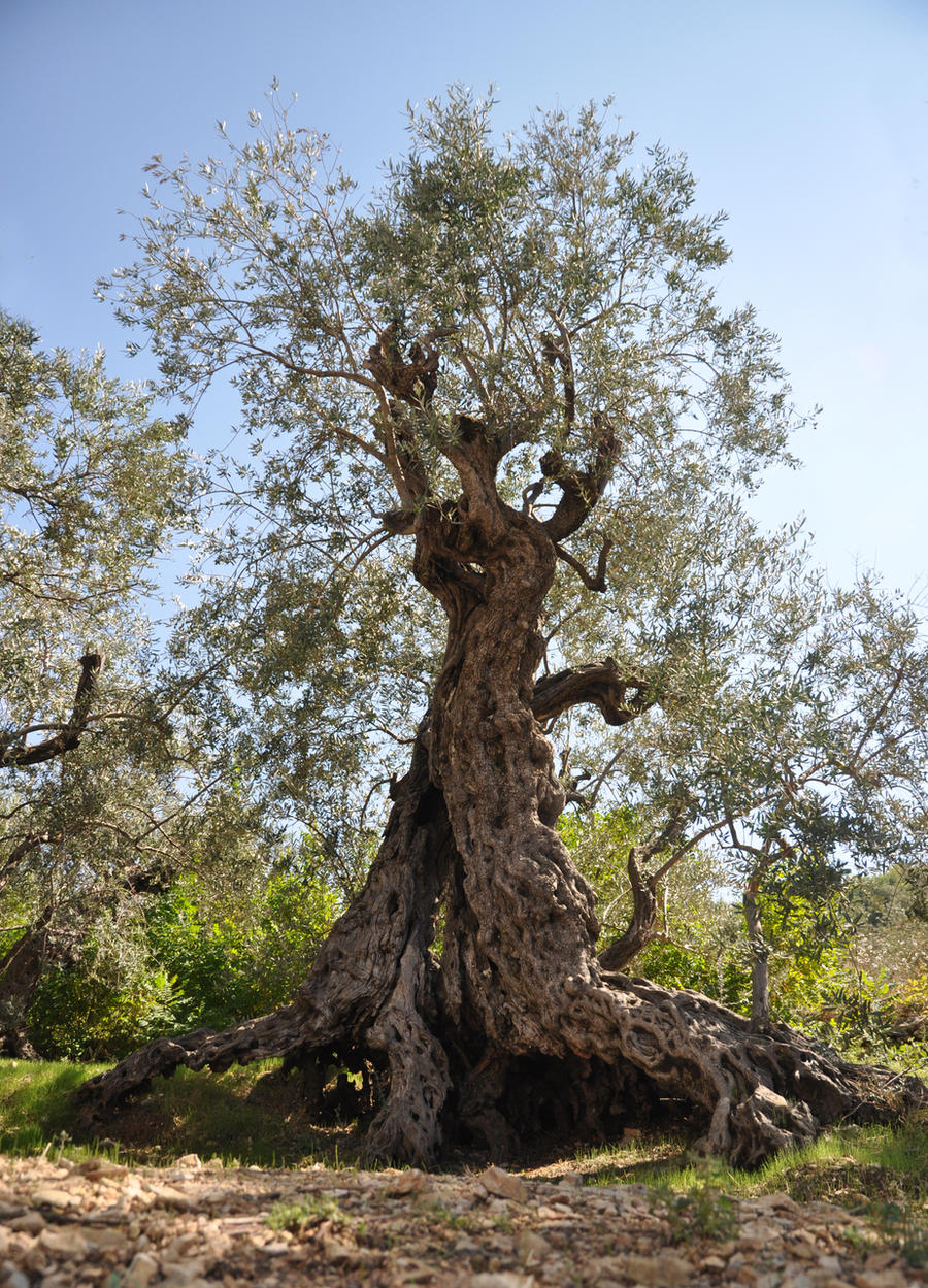 Sisters olive trees of noah by gerbil1980 on deviantart for What to plant under olive trees