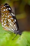 Citrus Swallowtail Butterfly