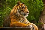 Sumatran Tiger 3 by andy1349