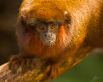 Red Titi Monkey by andy1349