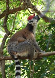 Cighat Ring-tailed Lemur