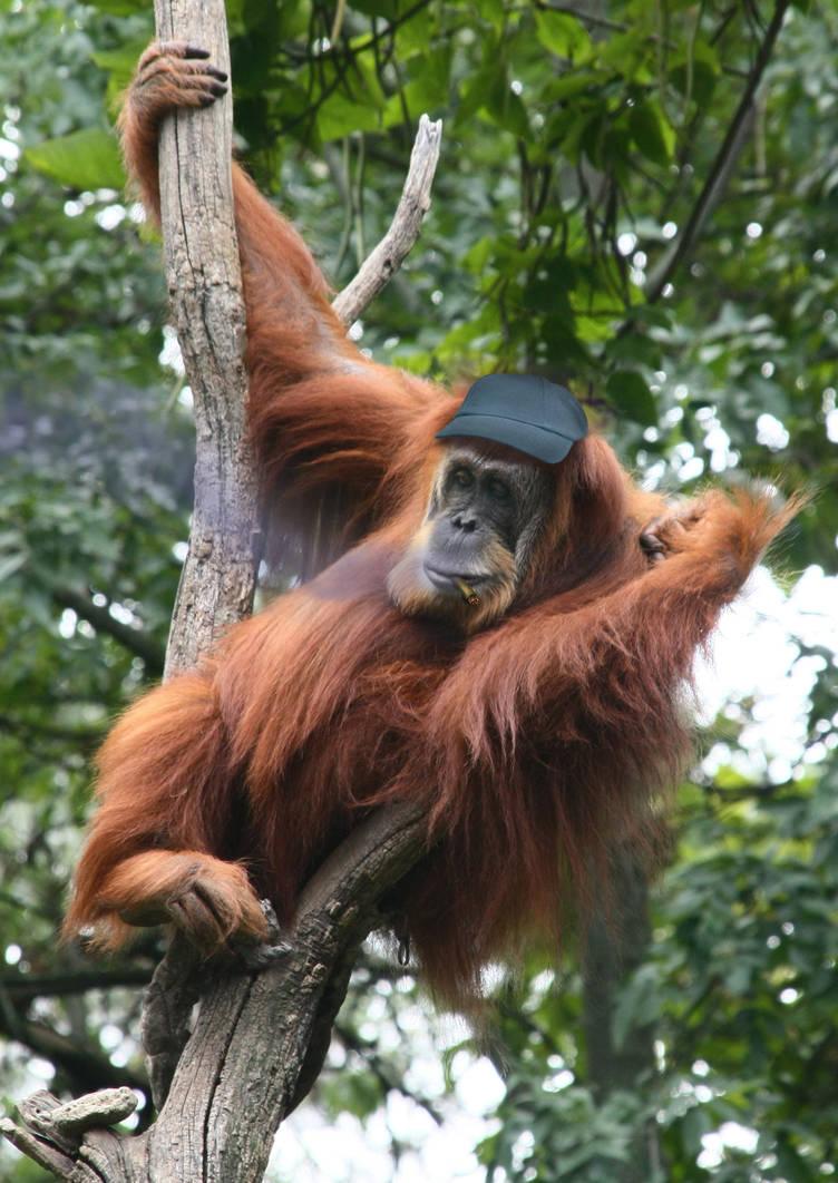 Cighat Orangutan