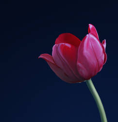 Red tulip by oakenvial