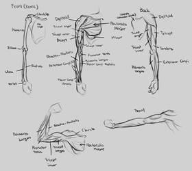 Anatomy-Arm
