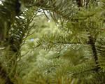Pine Dew 1