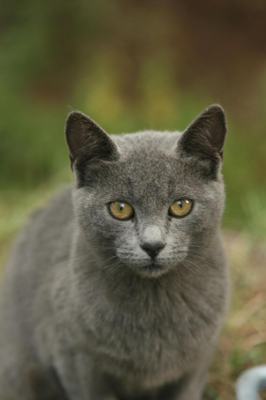 gray cat 2 by cappon on DeviantArt