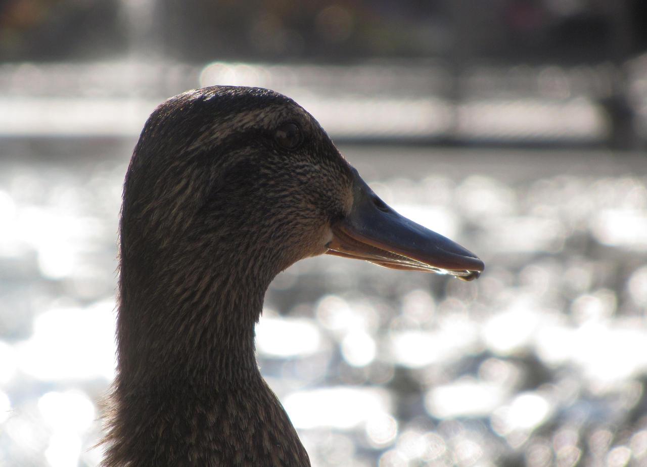 duck by MadameMimii