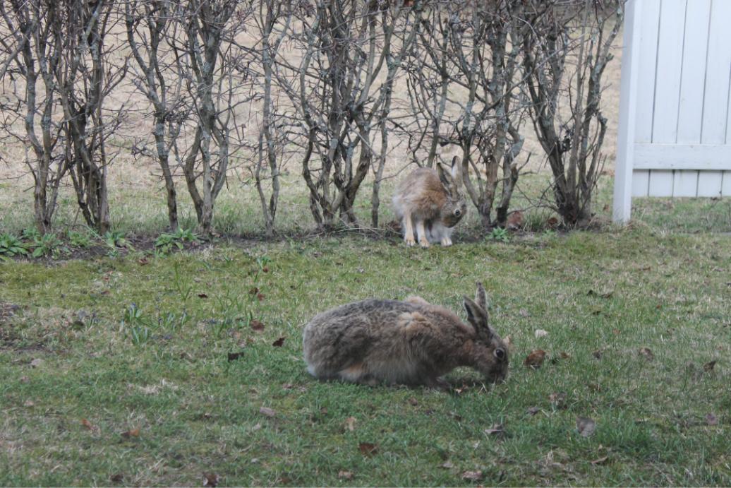 Hares on my backyard by LemonicDemon