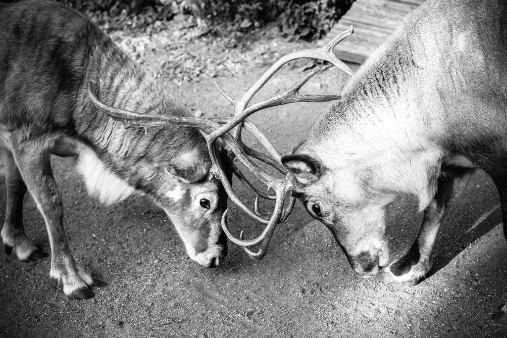 reindeer by emregurten