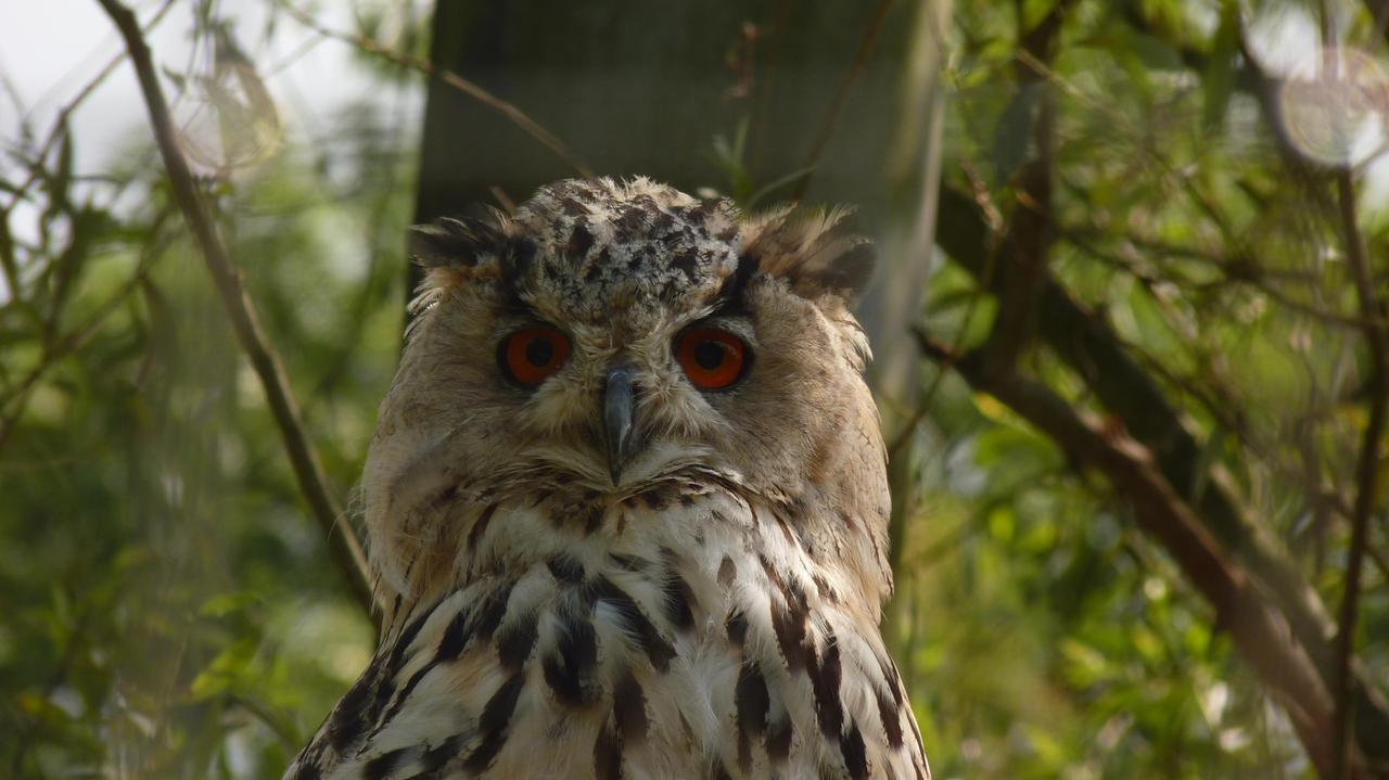 Eagle Owl by Menuja