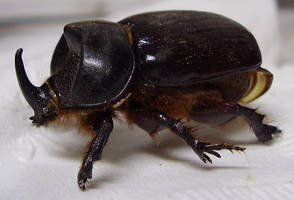 Preserved Rhinocerous Beetle by tygerwulf