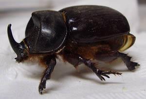 Preserved Rhinocerous Beetle