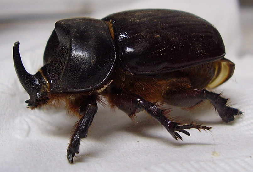 Preserved Rhinocerous Beetle by tygerwulf