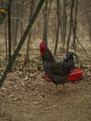 Harvey Wallbanger: Rooster by verymoon