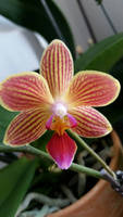 Orchid by Lisa99