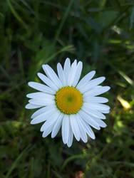 Daisy by Lisa99