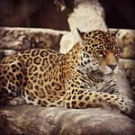 Jassi the Jaguar