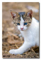 Odd-Eyed Kitty by jevigar
