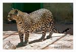Leopard in Gaziantep