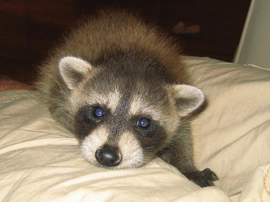 My Raccoon C: by XxxxChrisXxx