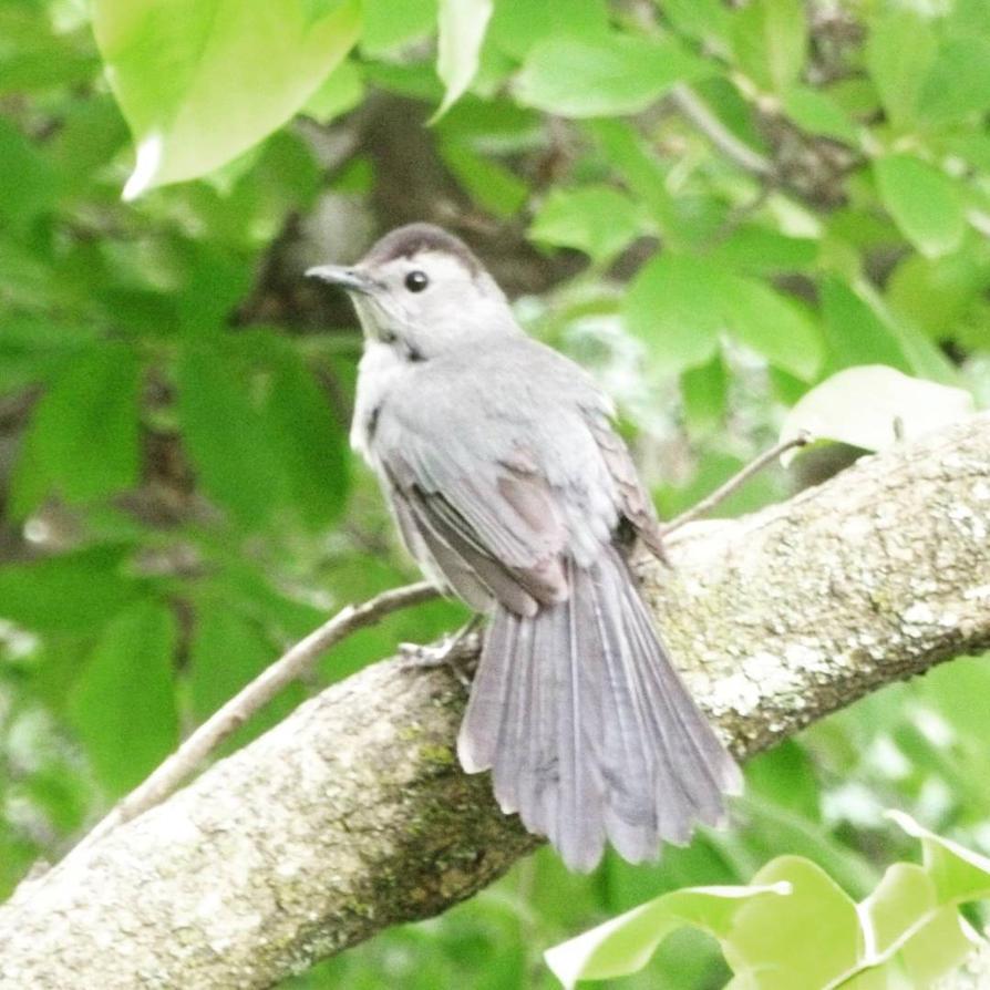 2015 July 2 Gray Catbird by Ladyhawke81