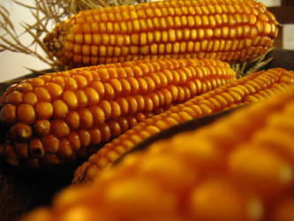 Yellow Corn by PaulaImperatrix