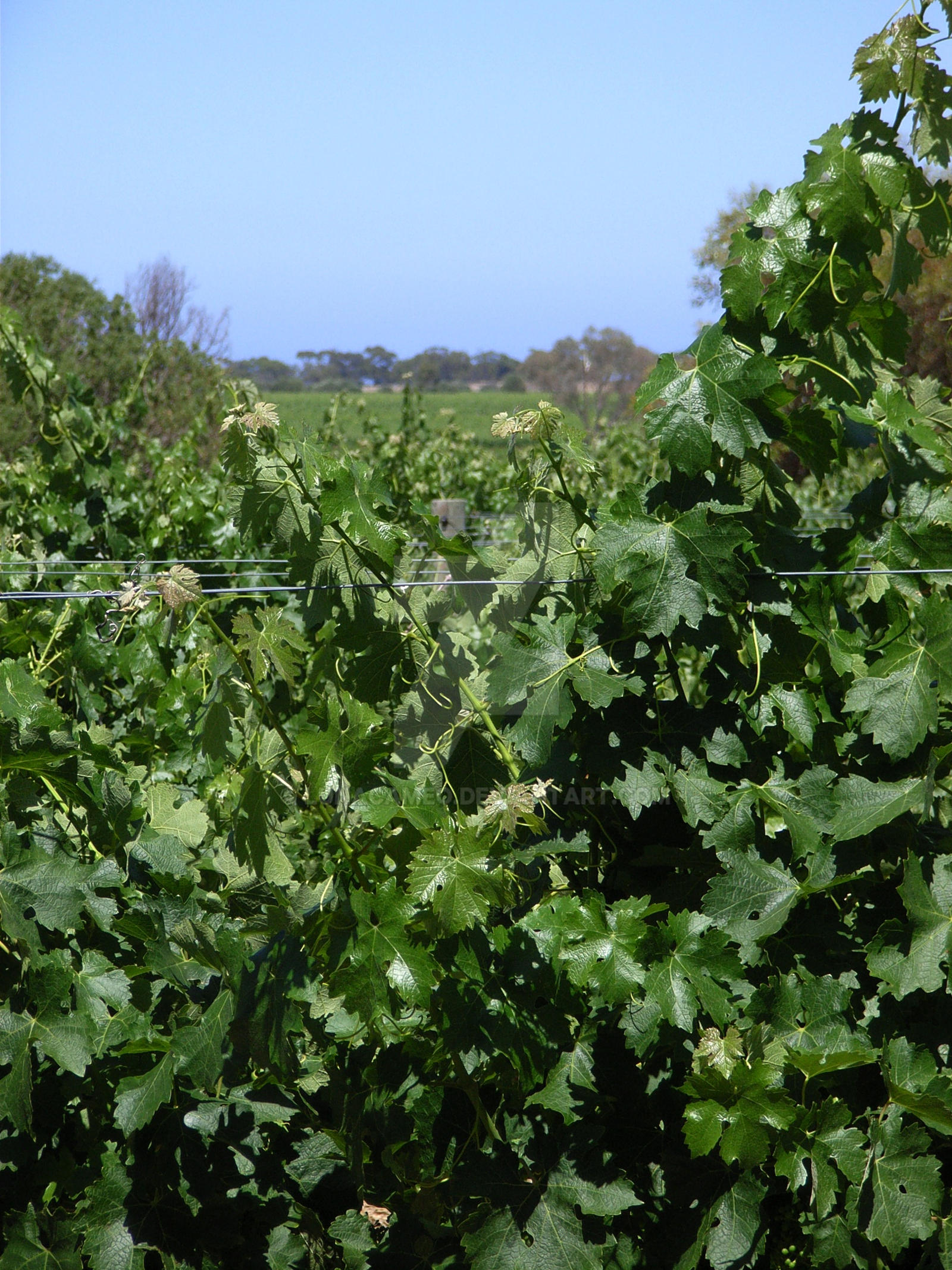 Vineyard Green