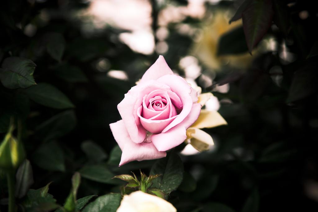 Wish Upon a Rose