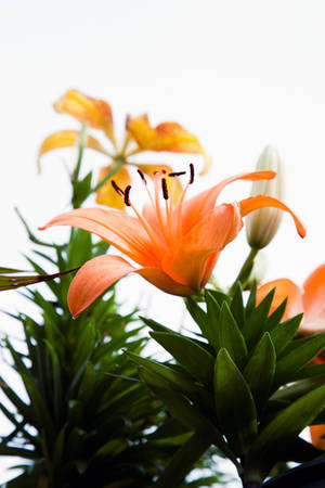 Orange Hybrid Lily on a Dreary Day
