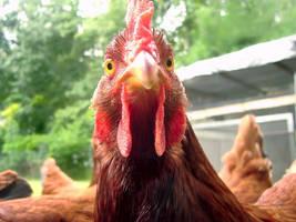 Rhode Island Red Hen by richardxthripp